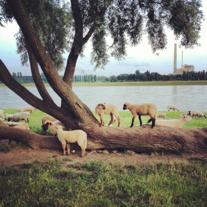 Schafeskälte am Rhein