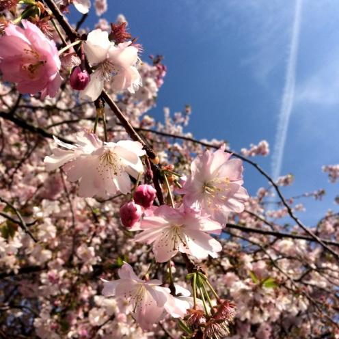 CherryBlossoms2