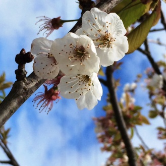CherryBlossoms3