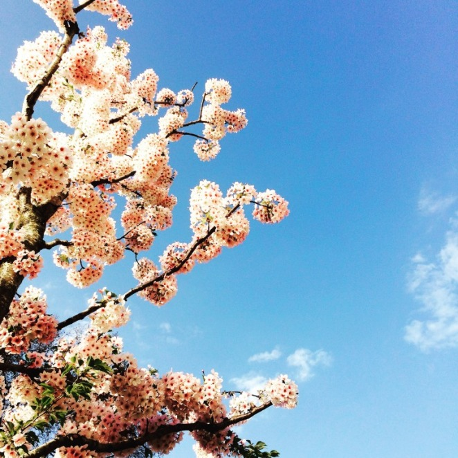 CherryBlossoms4