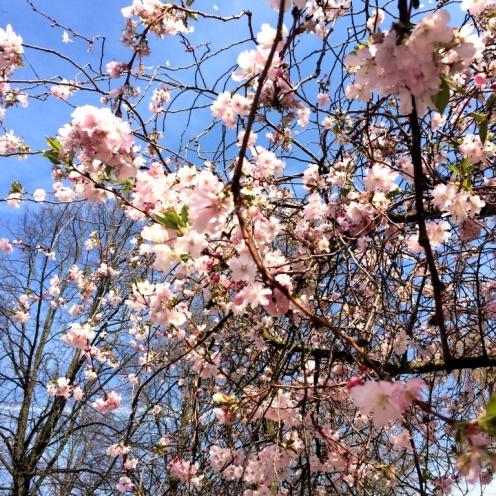 CherryBlossoms5